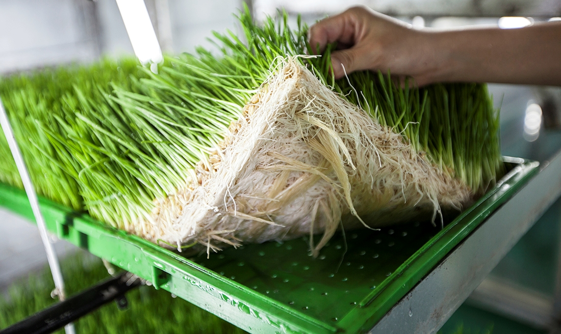 wheatgrass cultivation